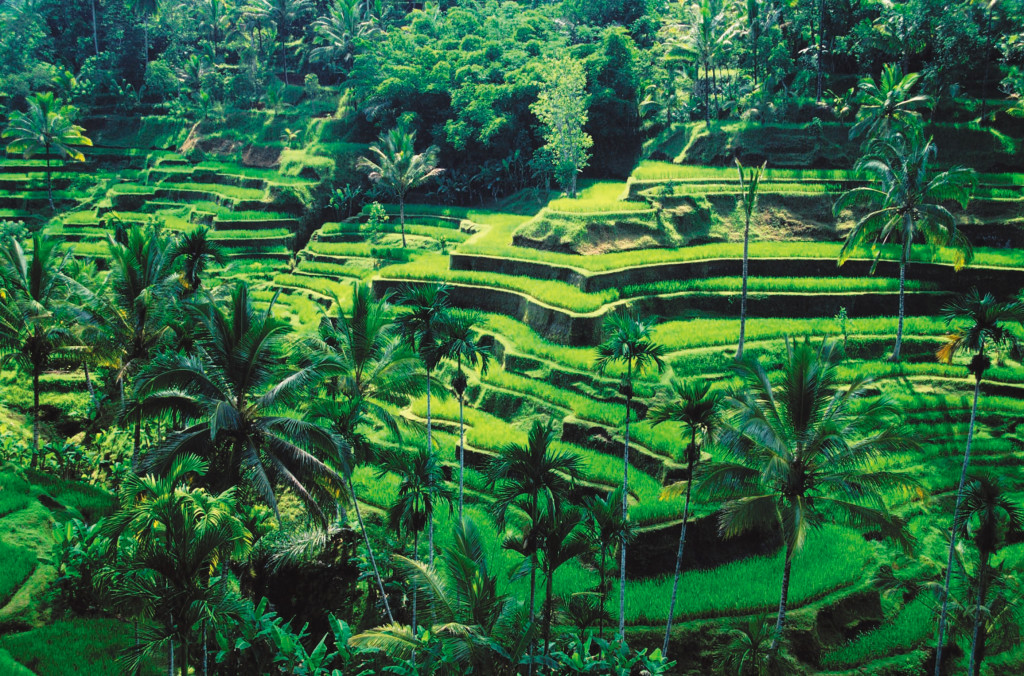 Bali paddy fields